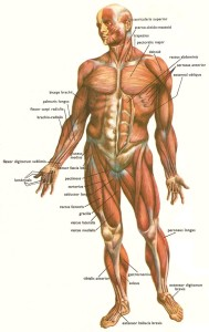 muscles_human_body_front1